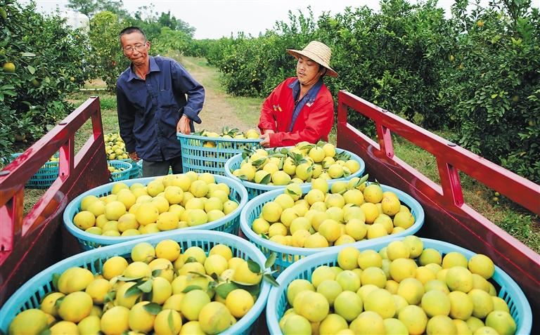 澄迈扎实推进农业高质量发展 桥头地瓜等入选中国农业品牌名录